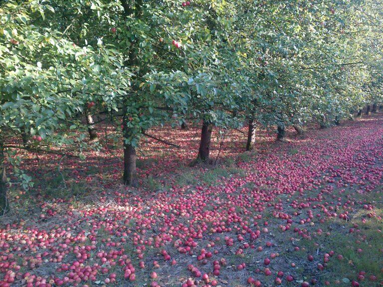 Read more about the article L'Arbre à pommes, créateur de jus de pomme bio